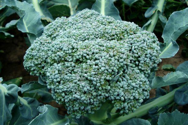 Brokolinizden Daha Fazla Sulforafan Çıkartma Yöntemi